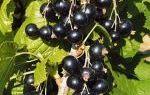 Чёрная смородина: посадка и уход за растением, выбор сорта
