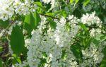Черёмуха: полезные свойства и противопоказания, состав ягод
