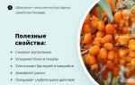 Облепиха: полезные свойства и противопоказания, лечение ягодами