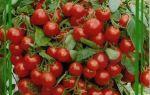Рассада помидоров: как её вырастить, правила получения крепких саженцев