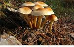 Ядовитые грибы: разбираем самые распространённые опасные виды