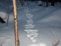 Очаровательные лисы на снегу в объективе датского фотографа